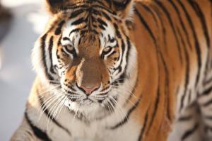 Обои Тигры Амурский тигр Взгляд Животные фото