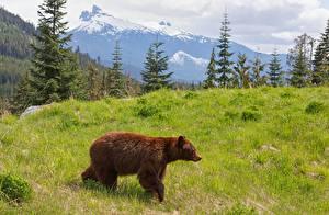 Обои Луга Горы Медведи Бурые Медведи Трава Животные фото