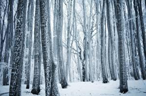 Обои Леса Зима Деревья Ствол дерева Снег Природа фото