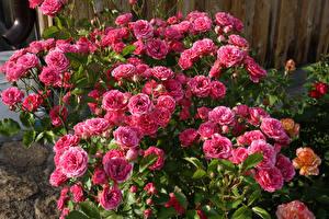 Фотография Розы Крупным планом Розовый Цветы