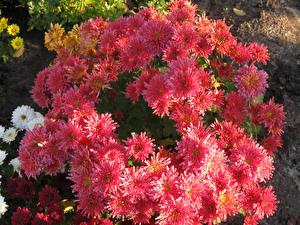 Обои Хризантемы Крупным планом Розовый Цветы