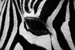 Фото Крупным планом Глаза Зебры Макро Полоски Животные