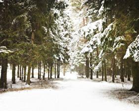 Обои Леса Зима Ель Снег Деревья Природа фото