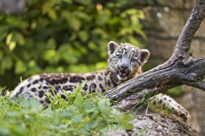 Обои Барсы Детеныши ©Tambako The Jaguar Животные