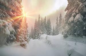 Фотографии Украина Зима Закарпатье Снег Ель Лучи света Природа