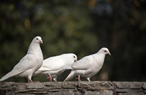 Фотографии Голубь Птицы Три Белая