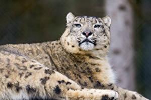 Фото Барсы Взгляд ©Tambako The Jaguar Животные