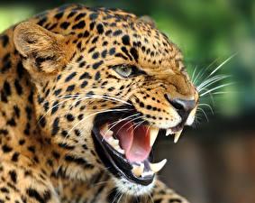 Фотографии Клыки Леопарды Злость Зубы Язык (анатомия) Усы Вибриссы Морда Голова Животные