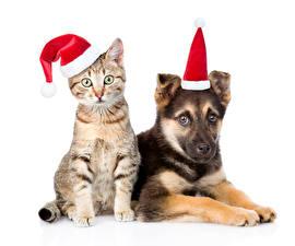 Новый год Кошки Собаки Белый фон Шапки Двое Овчарка Животные