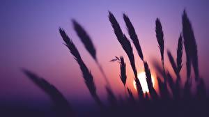 Обои для рабочего стола Рассвет и закат Колоски Силуэты Солнце Природа