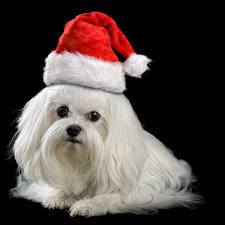 Новый год Собаки Черный фон Шапки Болоньез Белый Животные
