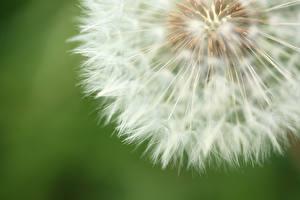 Фото Крупным планом Одуванчики Макро Цветы