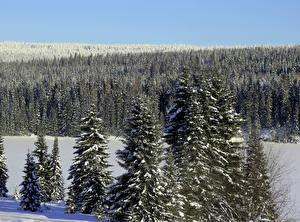 Обои Времена года Зима Леса Снег Ель Природа фото