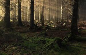 Обои Леса Утро Деревья Туман Лучи света Мох Природа фото