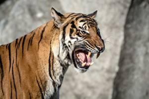 Обои Тигры Клыки Оскал Животные фото