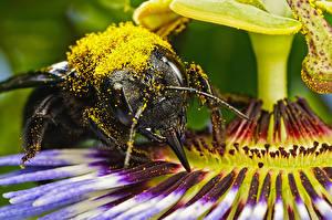 Фото Пчелы Крупным планом Макро Пыльца Животные