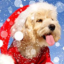 Новый год Собаки Мальтезе Болоньез Шапки Язык (анатомия) Животные