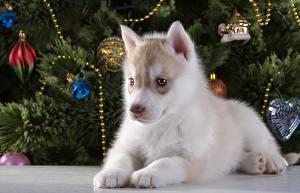 Собаки Хаски Щенок Животные
