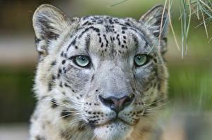 Фотографии Голова Взгляд Морда ©Tambako The Jaguar Животные