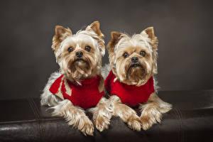 Обои Собаки Двое Йоркширский терьер Смотрят