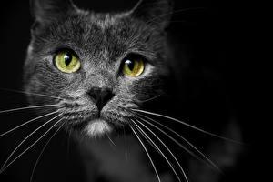 Обои Кошки Усы Вибриссы Взгляд Морда Черный фон Животные фото