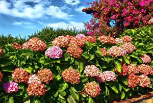 Картинка Гортензия Вблизи Цветы