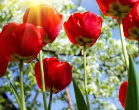 Обои Тюльпаны Крупным планом Вид снизу Красный Цветы фото
