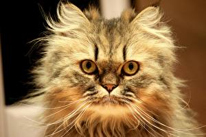 Обои Кошки Пушистый Взгляд Усы Вибриссы Животные фото