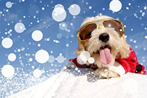 Новый год Собаки Мальтезе Болоньез Язык (анатомия) Очки Снег Животные