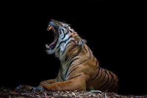 Обои Тигры Клыки Черный фон Оскал Животные фото