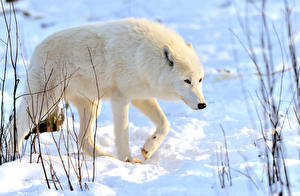 Обои Волки Белый Снег Животные фото