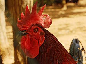 Картинка Птицы Петух Вблизи Голова Клюв