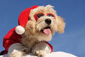 Новый год Собаки Мальтезе Очки Шапки Язык (анатомия) Животные