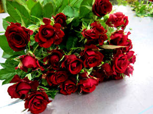 Картинки Розы Много Бордовый Цветы