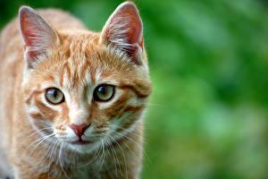 Картинки Кот Смотрят Морды Усы Вибриссы Голова животное