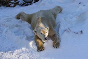 Обои Зима Медведи Белые Медведи Снег Животные фото