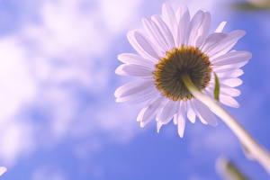 Обои Одуванчики Крупным планом Вид снизу Цветы фото