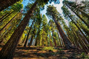 Обои США Парки Деревья Ствол дерева Вид снизу Sequoia and Kings National Park Природа фото
