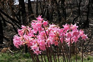 Картинки Амариллис Крупным планом Розовых цветок