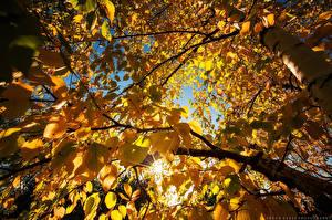 Обои Осенние Листья Ветки Береза Вид снизу Желтые Природа