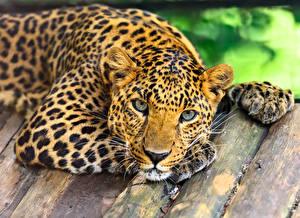 Обои Большие кошки Леопарды Доски Взгляд Животные фото