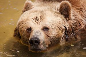 Обои Медведи Гризли Голова
