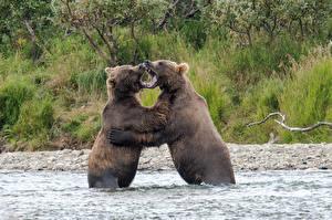 Картинки Медведи Бурые Медведи Вода Вдвоем Сражение Животные