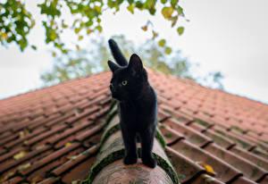 Картинки Коты Черный Крыша Животные
