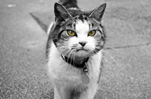Фото Кошки Черно белые Хмурость животное