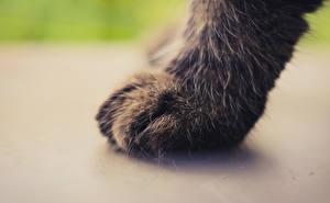 Обои Кошки Крупным планом Макро Лапы Животные