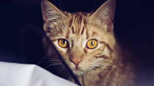 Обои Кошки Взгляд Морда Животные фото