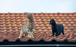 Картинки Коты Крыша 2 Животные
