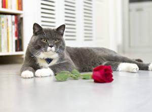 Обои Кошки Розы Взгляд Лапы Животные фото