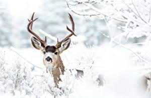 Обои Олени Зима Рога Снег Животные фото